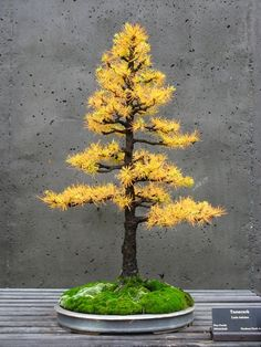 American Larch Bonsai, formal upright style, in autumn