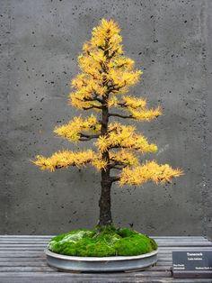 The same Tamarack, or American Larch, Bonsai, Formal Upright style (Chokkan) in it's autumn colours.