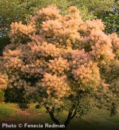 1000 images about flowers bushes shrubs zone 5 on pinterest shrubs
