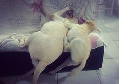 Soninho? Nem pensar! Estamos ligados no 220 com muito pique pra brincar!  _________________________________ #Harry #giuseppe #Labrador #Retriever #filhotes #cachorro #dog #Instadog #instaharry #instapet #dogslovers #puppy #pup #doggie #pet #lab #yellowlab #golden #talesofalab #babydog #loveanimals #labragram #laboftheday #worldoflabs #photo #instagram #Domingo #amor #amigos #followme by labradoresharryegiuseppe