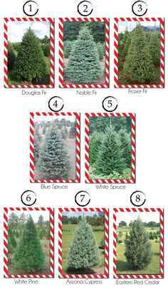 Different Christmas tree types and varieties. A informative post to help choose the perfect tree for you and your family