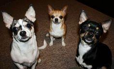 Three amigos Chihuahuas image via www.Facebook.com/CuteChihuahuaFans