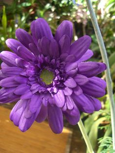 The Purple Silk Gerbera Daisy stems are tall. They are on wired stems. And each flower is wide. Also see: Silk flowers Happy Flowers, Flowers Nature, Purple Flowers, Beautiful Flowers, Mimosas, Gerbera Daisy Bouquet, Gerber Daisies, Purple Garden, All Things Purple