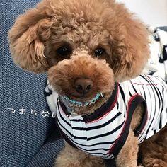 今朝は☔️… お友達のお空は どうかなぁ( '-'* )?? ✳︎ やっとお散歩大好きまめが 復活したのになっ😢 ✳︎ まめ二度寝中💤💤… #cuncable#puddlelove#_international_animals_#todayswanko#all_dog_japan#doglover#instapoodle#redpoodle#貴婦狗#わんこ#愛犬#トイプードル#dogsofistagram#豆助#まめすけ#idog#ilovemydog#caniche#pawsomepoodles#ig_dogphoto #superdog_world#total_dogs#poodles_petsagram#poodlelove#ペピ友