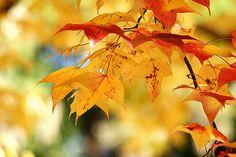 2009/12/2 マンサク科フウ属の落葉高木で、学名は Liquidambar formosana。英名は Formosan sweetgum 京都府立植物園/Photo was taken in The Kyoto Botanical Garden