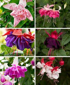 6 Giant Fuchsia's in 6 soorten Balcony Plants, Patio Plants, Outdoor Plants, Potted Plants, Garden Plants, Laurus Nobilis, Rose Violette, White Camellia, Angel Trumpet