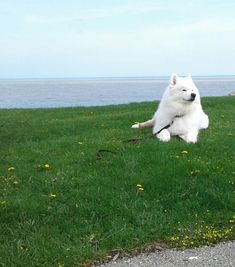 Relaxing at the beach with Code the Samoyed