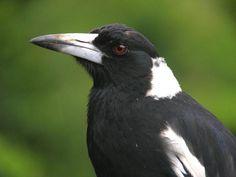 Australian Magpie (Cracticus tibicen) Butterfly House, Crows Ravens, Australian Birds, Starling, Magpie, How Beautiful, Creatures, Blackbirds, Sketches