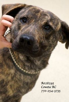 NewnanGA - Urgent Shelter Animals - A-10 CODE RED! *COWETA COUNTY ANIMAL CONTROL, NEWNAN, GA 770-254-3735* Breed: Hound, Labrador Retriever Mix Sex: Male Age: Adult (1 year per shelter notes) Size: Medium Weight: 43 lbs ID: A028295 Shelter Name: Vaccinated, Heartworm POSITIVE PLEASE CONTACT COWETA COUNTY ANIMAL CONTROL TO ADOPT THIS PET: 770-254-3735. The address is 91 Selt Road, Newnan, GA. This handsome fella is such a SWEETHEART! He is very easy going, willing to please and seems to be…
