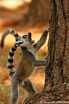 ringtail lemur primate animal photography