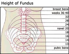 fundus location during preganancy | Height of Fundus Chart