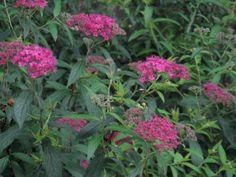 5月19日【シモツケ(下野)】学名:Spiraea japonica別名:キシモツケ(木下野)と形態:落葉樹 樹高:低木分類:バラ科花色:桃色または白色使われ方:庭木などとして使われています。