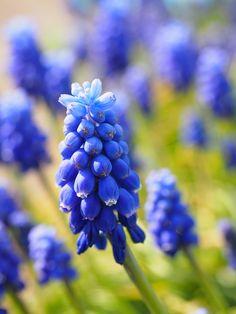Traubenhyazinthe, Blüten, Blau, Kleine Traubenhyazinthe