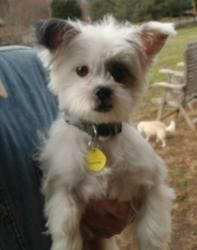 Missy is an adoptable Shih Tzu Dog in Greensboro, NC. Meet Missy, a soon-to-be, one year old, female Shih Tzu / Power Puff Chinese Crested Mix female dog who came into our rescue when her owner surren...