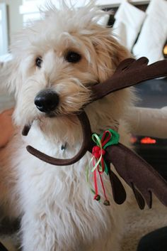 Jack the Goldendoodle at Christmas {see his new blog at theinspireddogblog.com} #goldendoodle #christmas