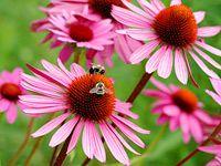 Echinacea krásná i léčivá: Jak ji pěstovat, sklízet a zpracovat?