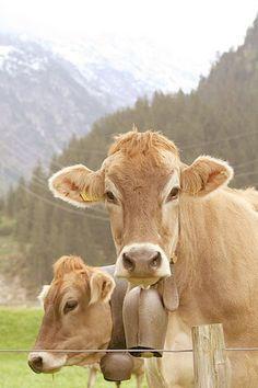 Switzerland.  Swiss cows.  down the mountain from furkapass