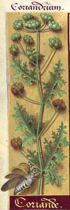 Coriande - Coriandrium (Coriandrum sativum L. = coriandre) -- Grandes Heures d'Anne de Bretagne, BNF, Ms Latin 9474, 1503-1508, f°224v