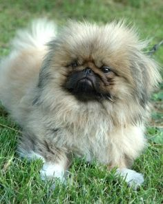 Pekingese! AAAAWE AWWWEEEE AWWWWWWWW!! :)) did is what one of my peekas look like n___n