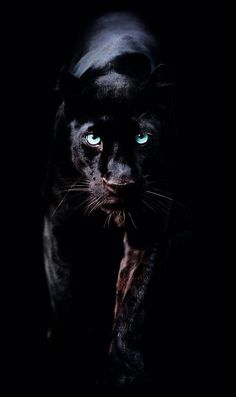 Black Panther Hd Wallpaper, Lion Wallpaper, Cute Pokemon Wallpaper, Animal Wallpaper, Black Background Wallpaper, Animals And Pets, Baby Animals, Cute Animals, Jaguar Animal
