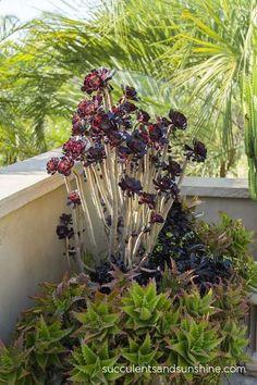 Aeonium Zwartkop at Jeanne Meadow's Garden - www.succulentsandsunshine.com