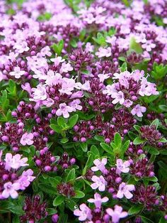 Bilderesultat for stauder med lang blomstringstid Exotic Flowers, Beautiful Flowers, Exotic Plants, Thymus Serpyllum, Creeping Thyme, The Tiny Seed, Cactus Plante, Hardy Perennials, Gardening Tips