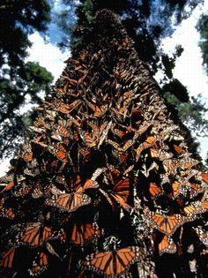 San Juan Capistrano, Mexico...Monarch butterflies winter retreat.