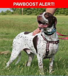 Please spread the word! Milo/beau was last seen in Conroe, TX 77304.  Description: 70Lbs. Large dog. Red-Tick&White. Ears are Bronwish Red/ Right Ear part bitten off.. has big spots on rear back & right front side. round spot in between. Has Chip.  Nearest Address: 321 Prince of Wales  Conroe, TX 77304