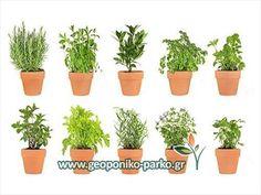 Νέα Προϊόντα : Αρωματικά φυτά - Βότανα σε μικρά γλαστράκια -Herbs seedlings