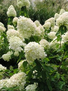 Hydrangea Paniculata Limelight Grows to 6 ft. tall and has profuse white bloom Hydrangea Paniculata Hydrangea Paniculata Grandiflora, Hortensia Hydrangea, Limelight Hydrangea, Hydrangea Garden, Green Hydrangea, Garden Shrubs, Lawn And Garden, Garden Plants, Shade Garden