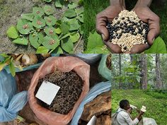 Medicinal Rice Formulations for Diabetes Complications, Heart and Kidney Diseases (TH Group-83) from Pankaj Oudhia's Medicinal Plant Database