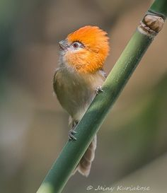 ˚Lesser Rufous-headed Parrotbill