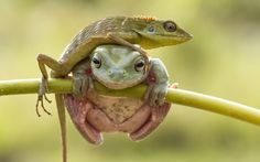 A dumpy tree frog scrambles onto a branch - only to have its efforts hindered by a cheeky lizard which proceeds to climb over its new found companion. The chance encounter was caught on camera by photographer Hendy Mp as the two reptiles crossed paths on the branch of a tree in Indonesia.