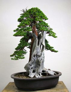 Powerful collected bonsai tree