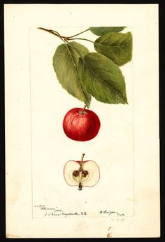 Artist: Heiges, Bertha Scientific name: Malus domestica Common name: apples Variety: Florence Geographic origin: Fayetteville, Cumberland County, North Carolina, United States Physical description: 1 art original : col. ; 17 x 25 cm. Specimen: 11979 Year: 1896