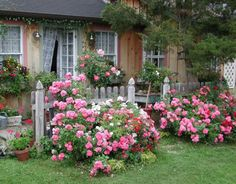 Therese Bugnet roses in a garden
