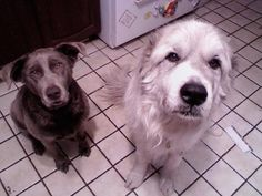 My dogs - Luna the silver lab (RIP) & Zeus the great pyrenees