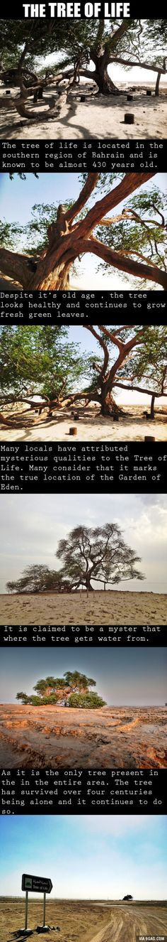 The Tree Of Life in Bahrain is considered a natural wonder