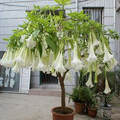 Cheap seed supplier, Buy Quality seed wholesaler directly from China seed flower Suppliers: White Datura flower seeds DWARF Brugmansia suaveolens Flamenco angel's Trumpets bonsai seed for home garden - 200 pcs / lot Bonsai Seeds, Tree Seeds, Orchid Seeds, Flower Seeds, Rare Flowers, Beautiful Flowers, Planting Seeds, Planting Flowers, Angel Trumpet Plant