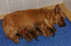 Dunham Lake Australian Terriers puppies born 10-24-14 can be seen live at livestream.