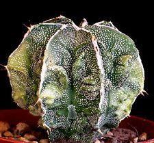 ASTROPHYTUM BANJYAKU cactus plante grasse hybrid succulentas succulento
