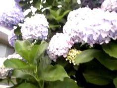 Hortênsias azuis