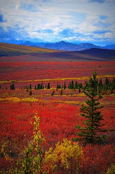 Tundra Fire ... the color of Autumn at Denali National Park & Preserve, Alaska