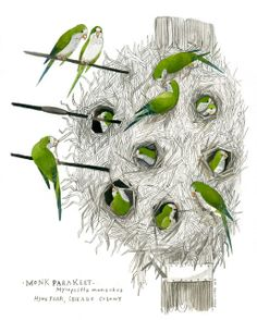 Monk Parakeet by Diana Sudyka   Tiny Aviary: Blog August 2013  Original link: http://thetinyaviary.blogspot.com/2013_08_01_archive.html  [pinned with permission from the artist]  More art by Diana at http://dianasudyka.com/natural-history/