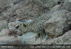 Iranian Leopard, captured by camera trap in Koh Sefid hunting forbidden zone, Damavand, Tehran province, Iran (Persian: عکس ثبت شده بوسیله دوربین های تله ای از یک پلنگ درمنطقه شکار ممنوع کوه سفید دماوند در استان تهران )