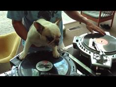 MUST SEE: DJ Bulldog Scratches Some Vinyl Like a Pro!