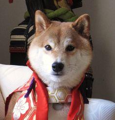 Shiba Inu.