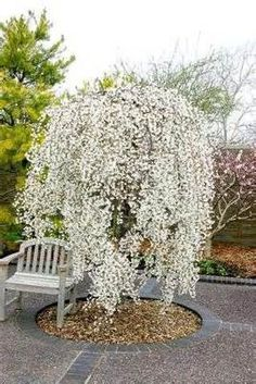 weeping snow cherry tree - Bing Images