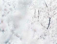 Risaku Suzuki - Sakura: Time with Cherry Blossoms   LensCulture