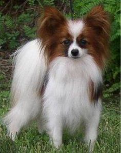 The Papillon was bred in the 17th century as a companion pet from Denmark, Germany, Luxembourg, & the Netherlands to Belgium, France, Italy, Portugal, & Spain. It is good with children, comfortable in urban environments, able to handle heat well, and easy to train. Although agile & well-constructed generally, Papillons do have frequent slipped kneecaps. They are also possessive of their owners and require frequent grooming.